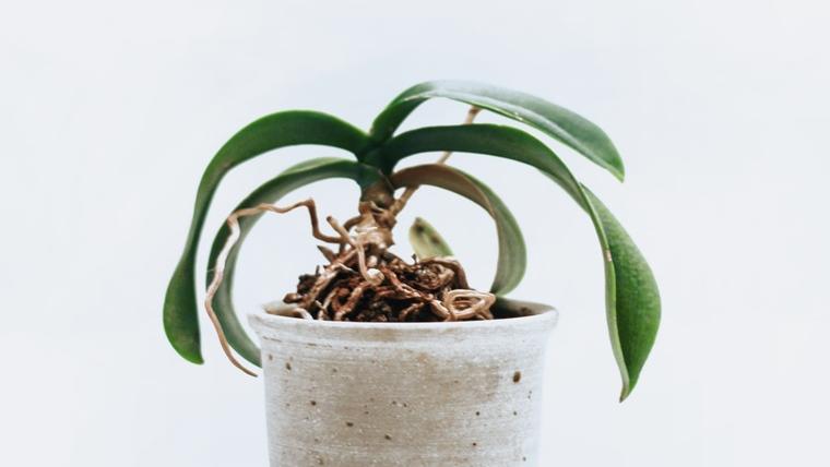 胡蝶蘭の苗