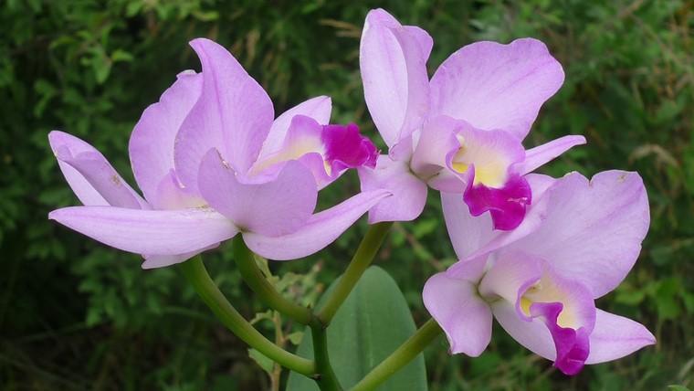 胡蝶蘭の仲間であるカトレア
