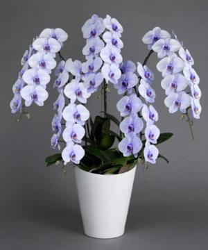 紫の5本立ちの胡蝶蘭