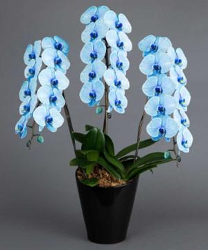 青の3本立ちの胡蝶蘭