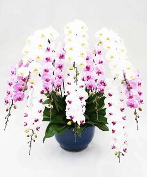 10本立ちの胡蝶蘭