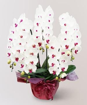 赤リップの5本立ちの胡蝶蘭