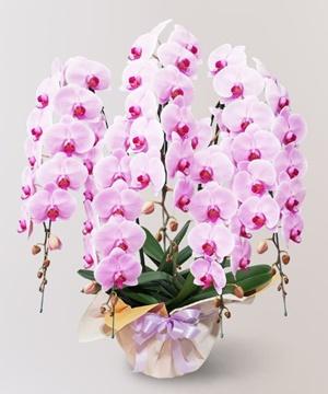 ピンクの5本立ちの胡蝶蘭