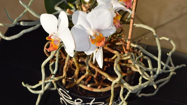 胡蝶蘭の根っこ