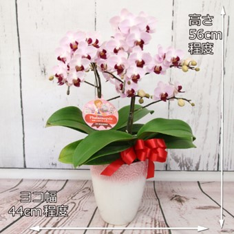 ピンクのミディ胡蝶蘭