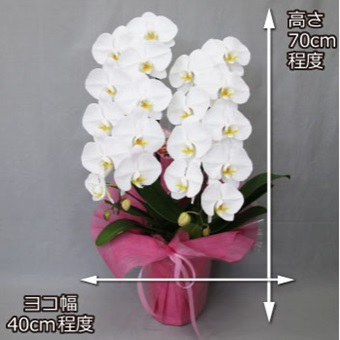 白い大輪の胡蝶蘭