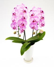 ピンクの胡蝶蘭