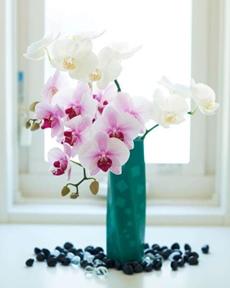 胡蝶蘭の切り花