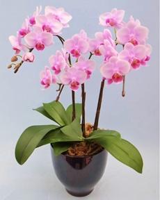 ピンクの3本立ちの胡蝶蘭