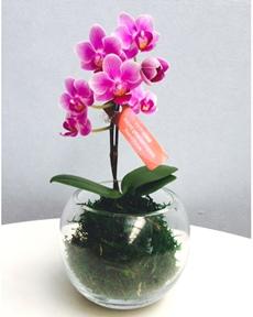 ピンクのミニ胡蝶蘭
