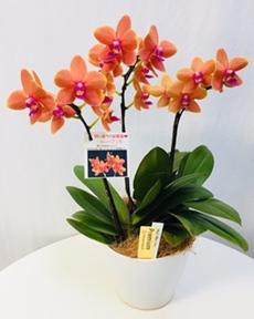 オレンジのミニ胡蝶蘭