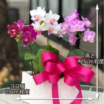 ミニ胡蝶蘭の寄せ植え