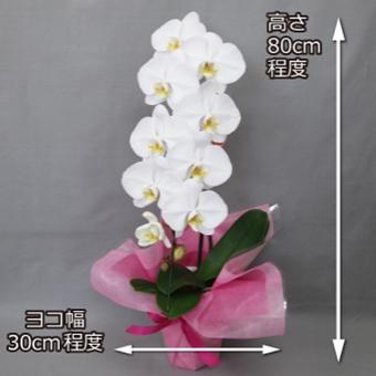 白い1本立ちの胡蝶蘭
