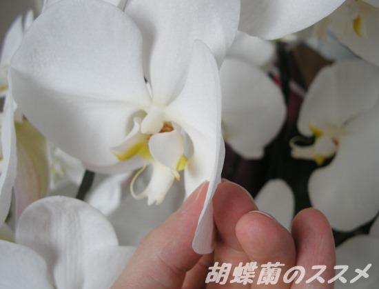 胡蝶蘭の花びらの厚み