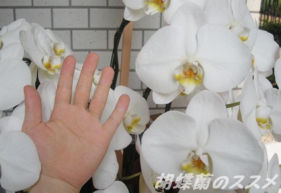 胡蝶蘭の花の大きさ