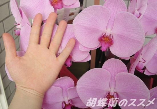 胡蝶蘭の花びらの大きさ