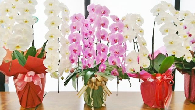 ギフト用の白とピンクの胡蝶蘭