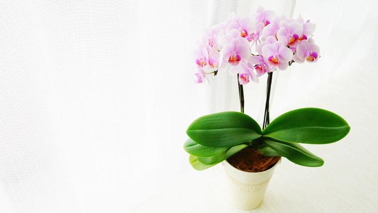 母の日用のミニ胡蝶蘭