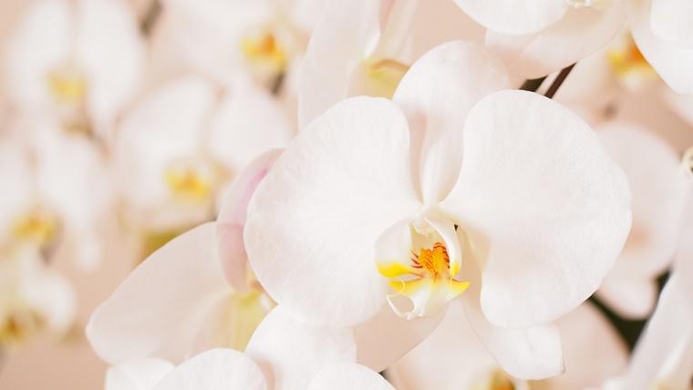 白い胡蝶蘭の花