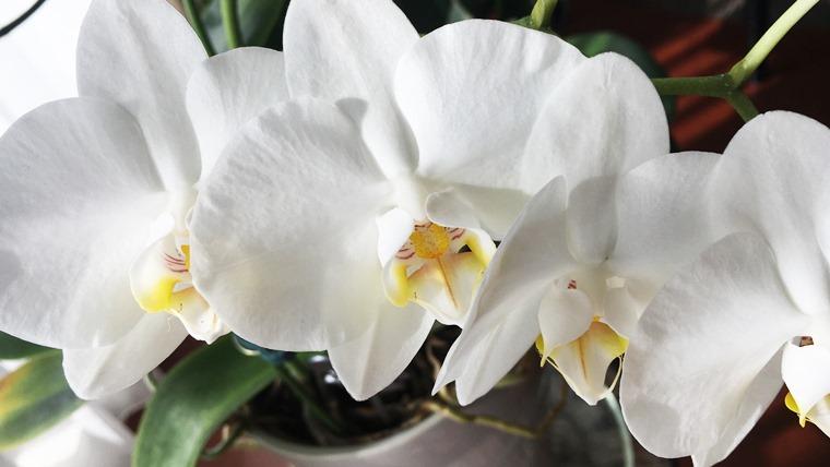胡蝶蘭の花茎