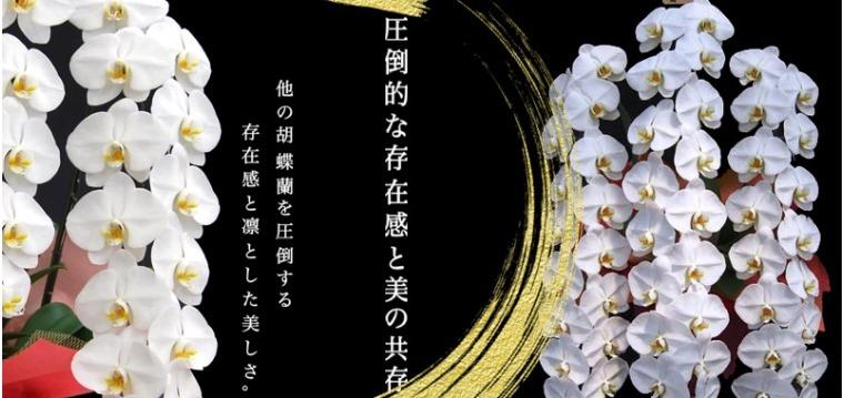 胡蝶蘭通販のギフトフラワー