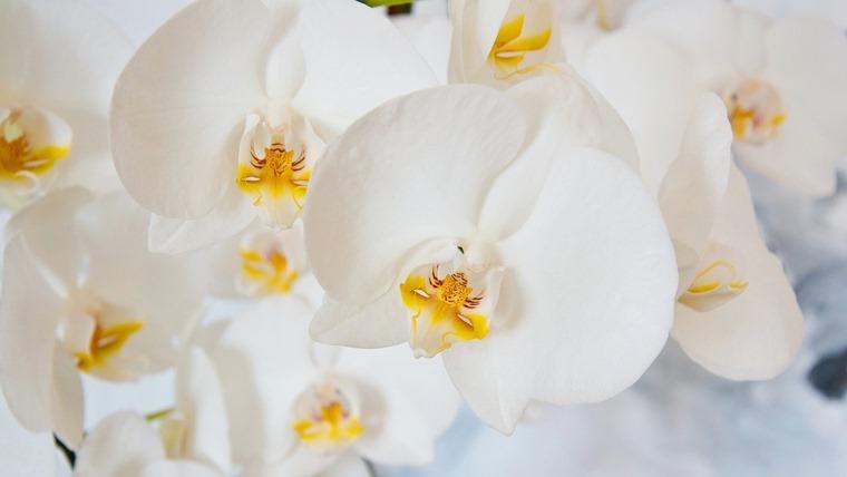 白い胡蝶蘭の花びら